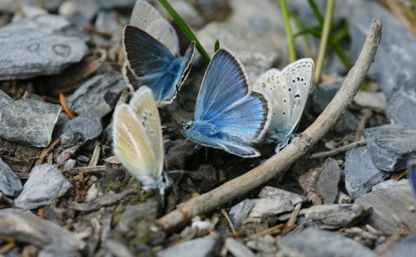 Insekten, Polyommatus eros, Gasteretal, Kanton Bern, CC-BY-SA-4.0, Bernhard Jost, CH, BE, Münsingen, Switzerland