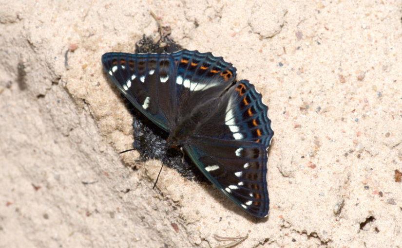Auf Schmetterlingsjagd in der Todeszone von Tschernobyl