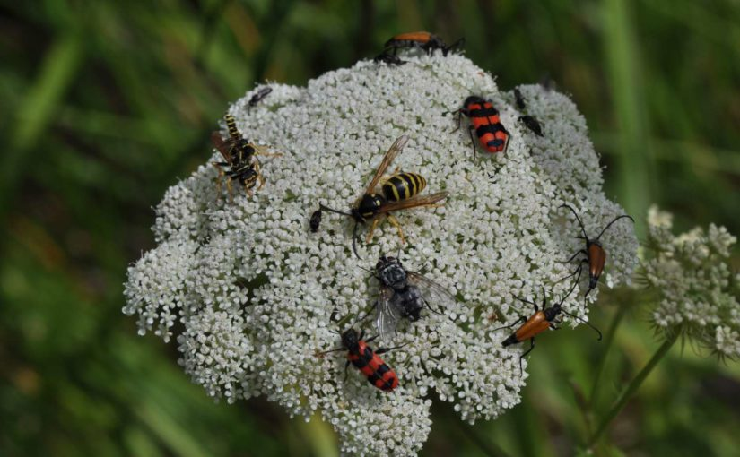 Biodiversität: Blüte mit verschiedenen Insekten, u.a. Buntkäfer Trichodes alvearius und Bockkäfer Stictoleptura fulva, Fliege, Wespen und Stachelblattkäfer