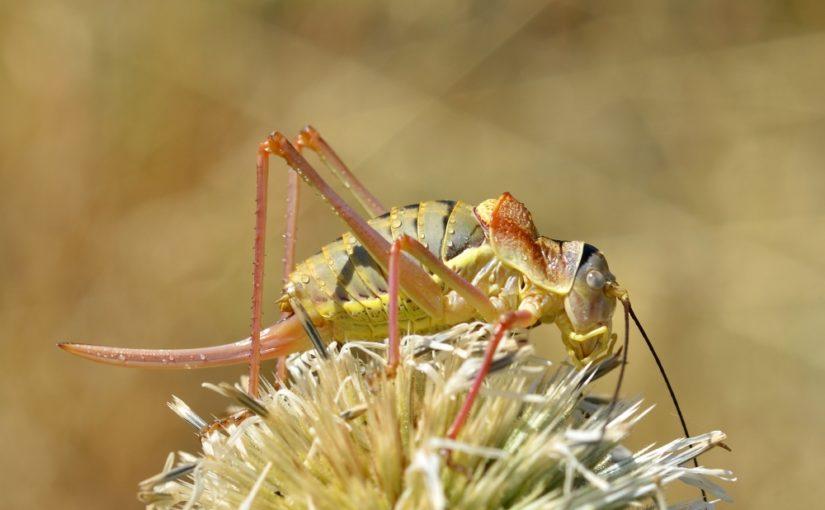 Insekten-Förderschwerpunkte im Kanton Bern: Heuschrecken