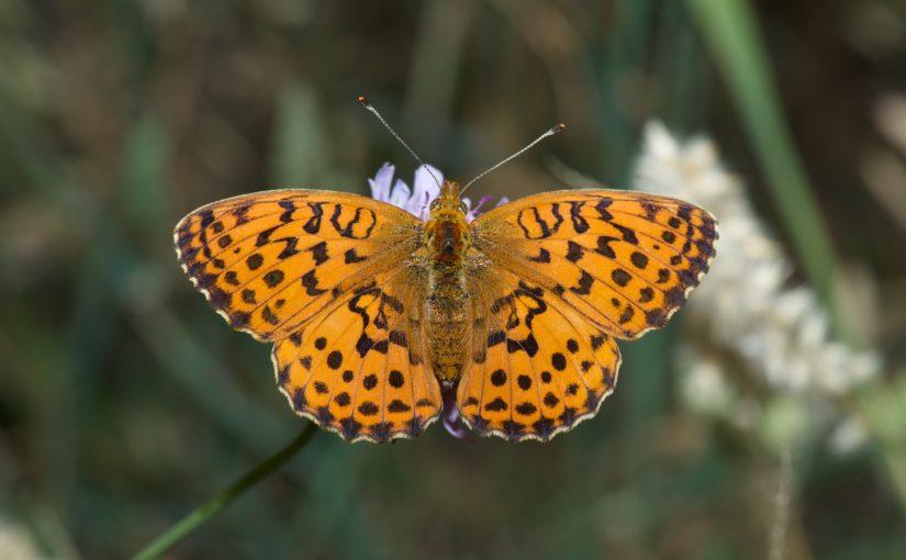 Schmetterlinge und der Klimawandel