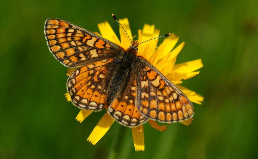 Festival der Schmetterlinge in Zuchwil, auf dem Bild ein Goldener Scheckenfalter, aufgenommen von Bernhard Jost, Münsingen, Schweiz, CC-BY-SA 4.0
