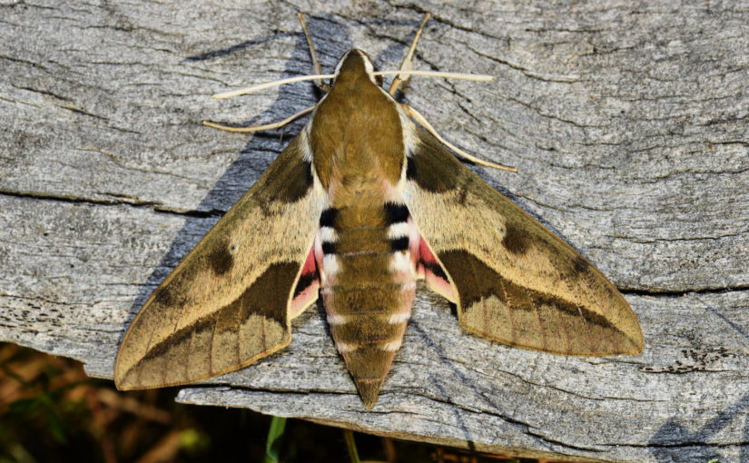 Hybride, Schmetterling, Schwärmer Hyles euphorbiae X H. vespertilio Imago, Schweiz Kanton Bern, Haslital, Foto CC BY-SA 4.0, Martin Albrecht, Bolligen, Switzerland