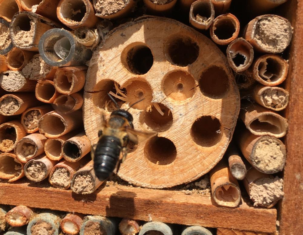 Die Asiatische Mörtelbiene Megachile sculpturalis, CH TI Minusio CC BY-SA 4.0 Julia Lanner, Bern, Schweiz