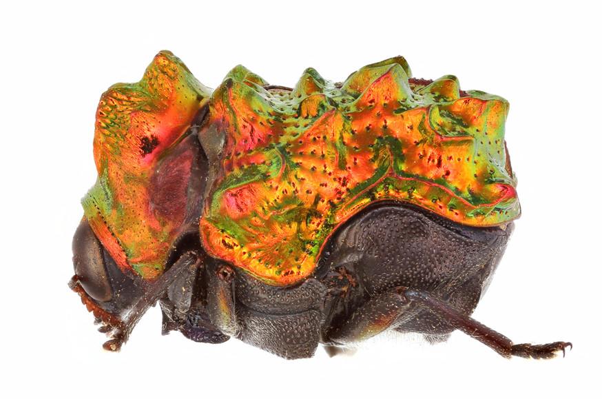 Insekten, Käfer Fulcidax bacca, CC BY-SA 4.0, Matthias Borer, Naturhistorisches Museum Basel, Switzerland
