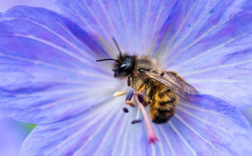 Die Rostrote Mauerbiene ist das Insekt des Jahres 2019