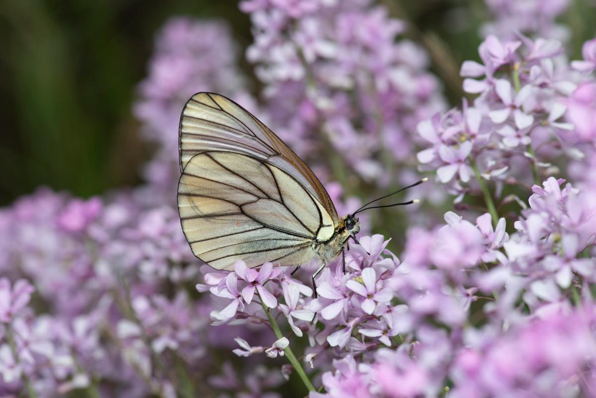 Baum-Weissling, Aporia crataegi, Schmetterlinge Iran, CC-BY-SA 4.0, Martin Albrecht, Bolligen, Switzerland