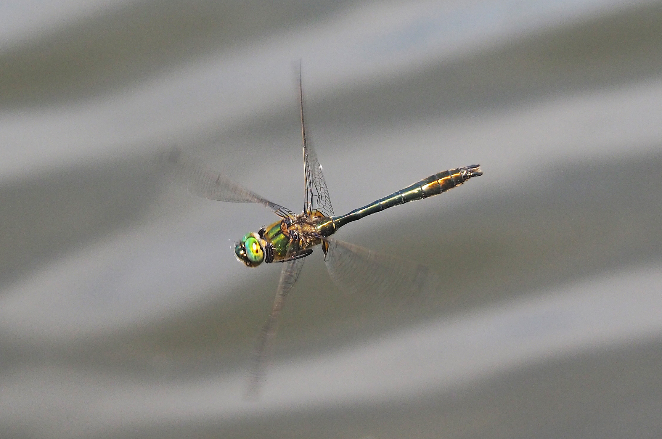 Biologie der Libellen, Falkenlibelle Cordulia aenea im Flug, CC-BY-SA-4.0, Hansruedi Wildermuth, Rüti, Switzerland