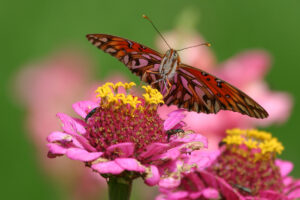 Regenwald, Schmetterling Agraulis vanillae, CC-BY-SA-4.0 Dominik Hofer, Langnau i.E. Switzerland
