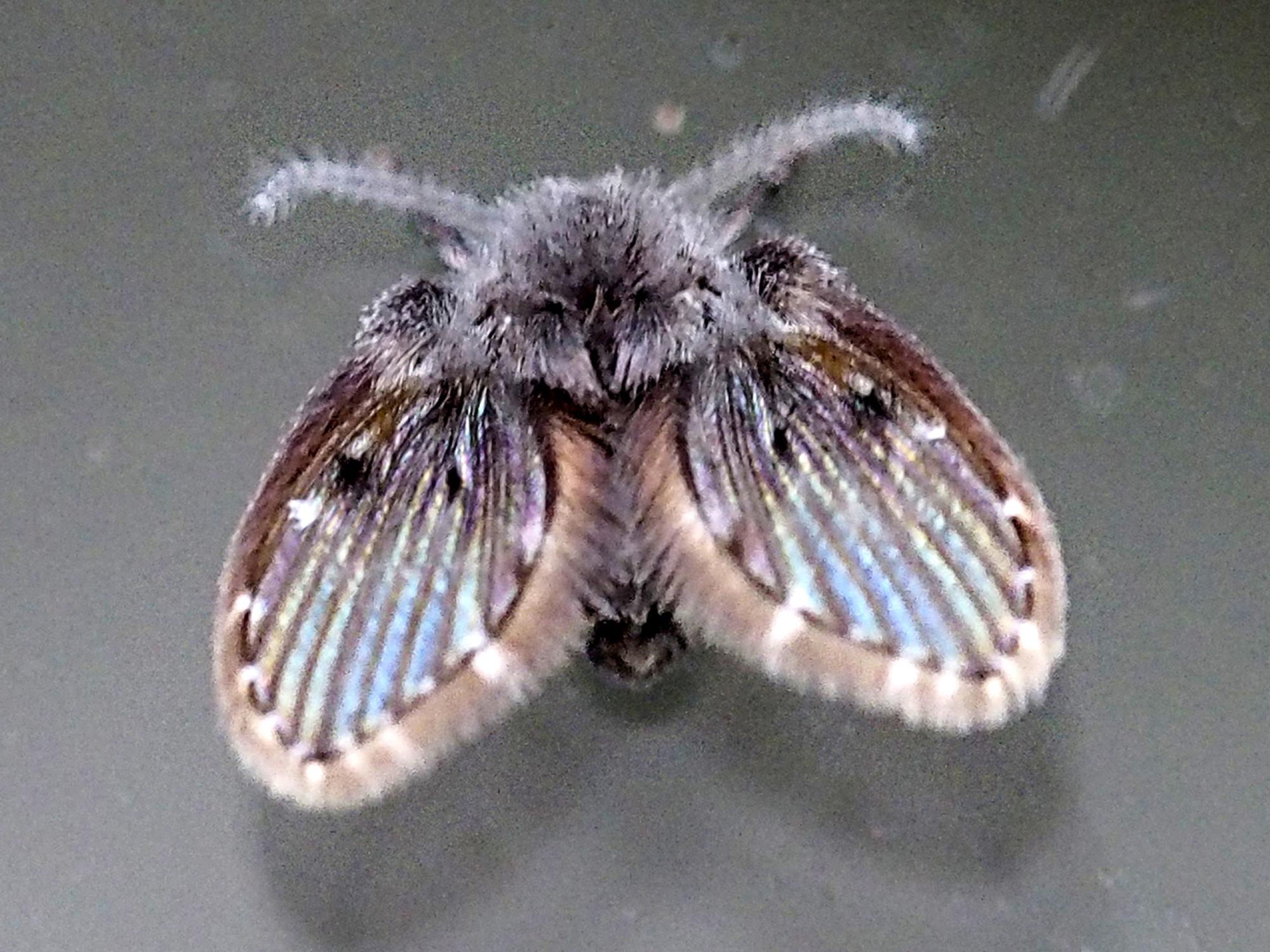 Schmetterlingsmücke, Pericoma, CC-BY-SA 4.0, Rolf Pflugshaupt, Gümligen, switzerland