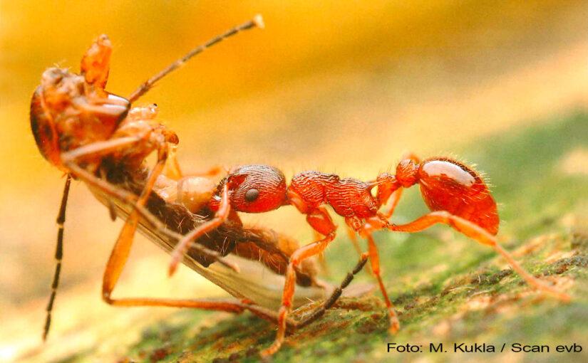 Ameisenbuch über Ameisen Mittel- und Nordeuropas Arbeiterin von Myrmica ruginodis mit Beute Foto Copyright Michael Kukla