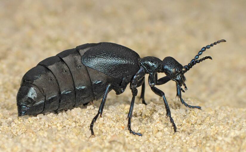 Insekt des Jahres 2020: der Schwarzblaue Ölkäfer