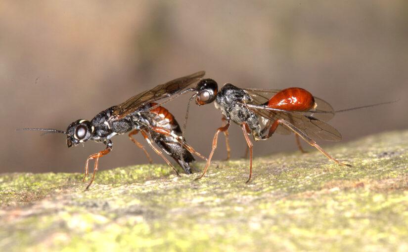Hungerwespe versus Schwertwespe: Belagerung im Insektenreich