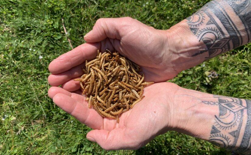 Der Durchbruch beim Essen von Insekten steht noch aus