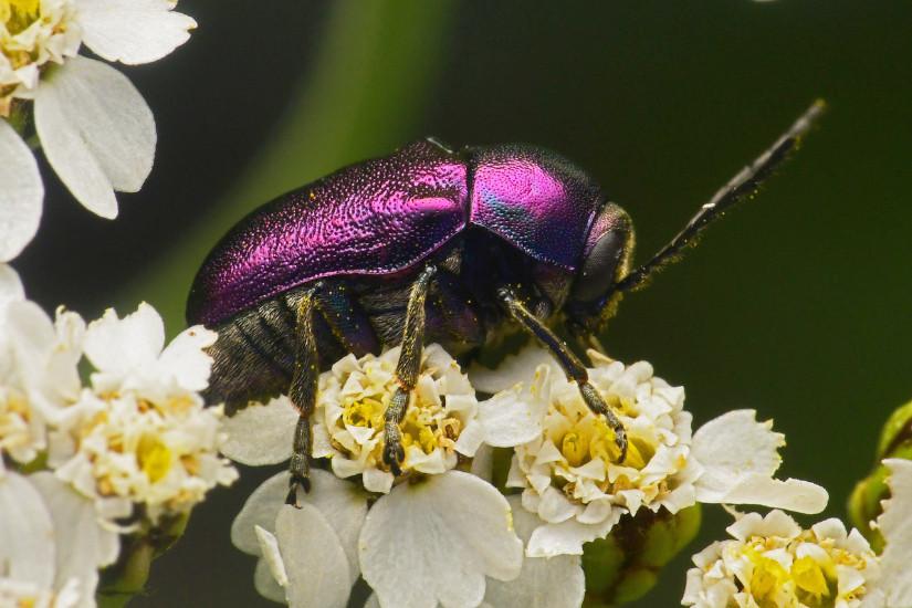 Schweizer Insektenwelt Cryptocephalus sp - Fallkäfer CC BY-SA 4.0 Bähram Alagheband Solothurn