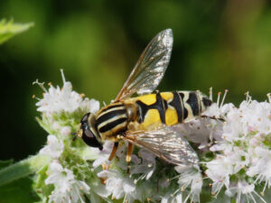 Grosse Sumpfschwebfliege Helophilus trivittatus SO+ 9. 8. 20 (3) CC BY-SA 4.0 Felix Amiet Solothurn